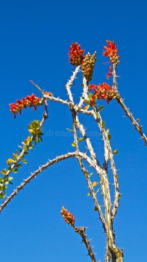 Πολύ ακανθώδες λουλούδι κάκτων ερήμων στοκ φωτογραφία