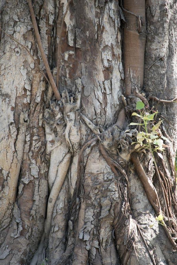 Πολύ παλαιός κορμός δέντρων του BO στοκ εικόνες