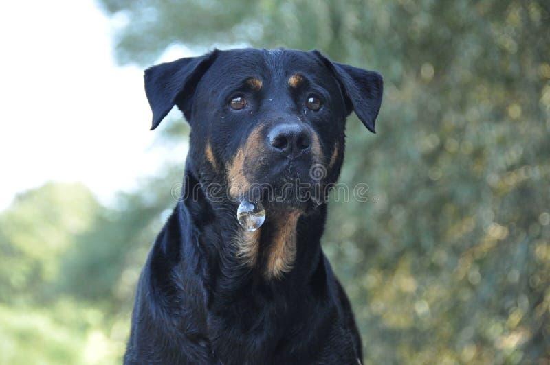 Πολύ περίεργο σκυλί rottweiler και φυσαλίδα στοκ εικόνες με δικαίωμα ελεύθερης χρήσης