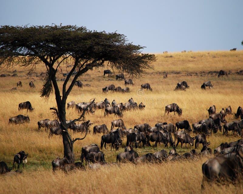 Πολύ Wildebeest στοκ εικόνες