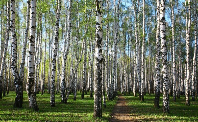 Πράσινα άνοιξη στο άλσος σημύδων βραδιού στοκ εικόνες