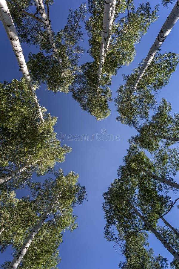 Πράσινα δέντρα της Aspen ενάντια στο μπλε ουρανό στοκ φωτογραφίες με δικαίωμα ελεύθερης χρήσης