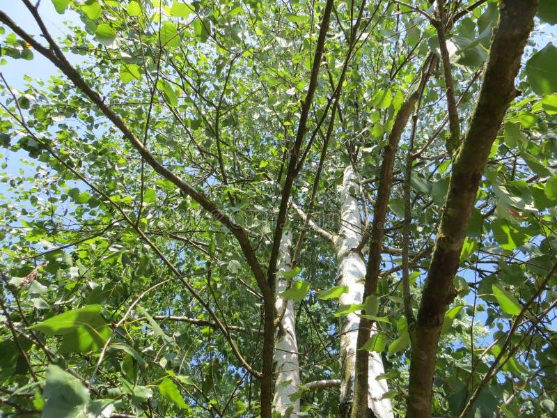 πράσινα δέντρα στοκ εικόνα