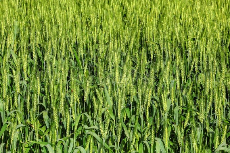 Πράσινα αυτιά σίτου Υπόβαθρο τομέων γεωργίας στοκ εικόνες
