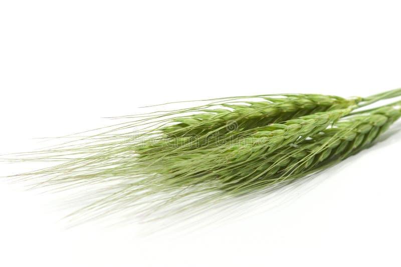 Πράσινα αυτιά σίτου στοκ εικόνες