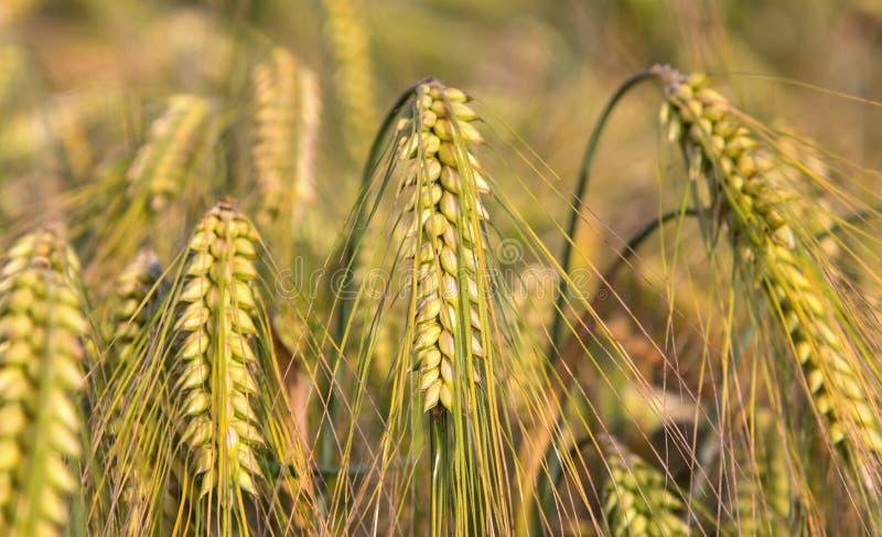 Πράσινα αυτιά cornfield κριθαριού του υποβάθρου στοκ εικόνες