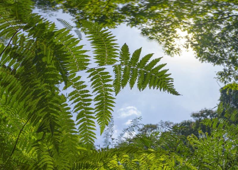 Πράσινα γιγαντιαία φύλλα φτερών που αυξάνονται στη ζούγκλα τροπικών δασών Προσιτότητα για τον υψηλότερο ουρανό Έννοια της ελπίδας στοκ φωτογραφίες