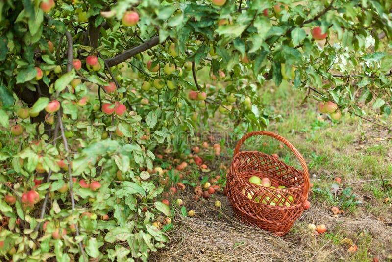Πράσινα και κόκκινα μήλα στο καλάθι στοκ εικόνες