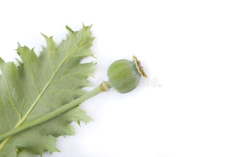 Πράσινα κεφάλι και φύλλο παπαρουνών στοκ φωτογραφία