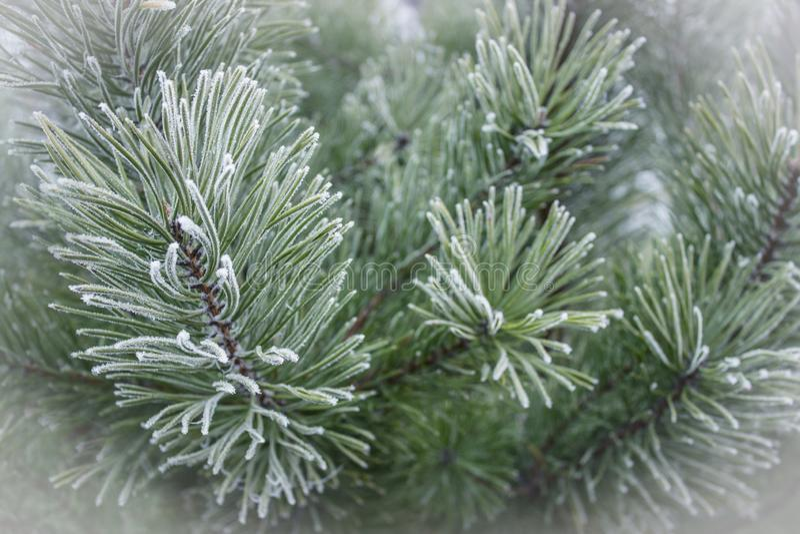 Πράσινα κλαδιά πεύκου στο χιόνι, χριστουγεννιάτικο φόντο στοκ εικόνες