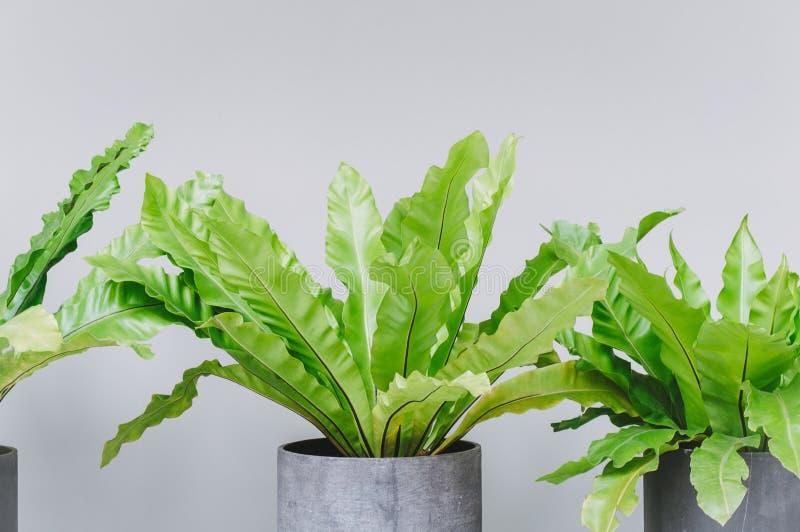 Πράσινα κυματιστά φύλλα στο βάζο για τη διακόσμηση σπιτιών στοκ εικόνες