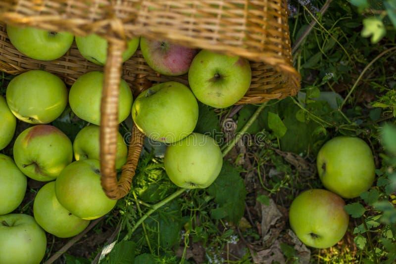 Πράσινα μήλα σε ένα καλάθι αχύρου στοκ εικόνα με δικαίωμα ελεύθερης χρήσης