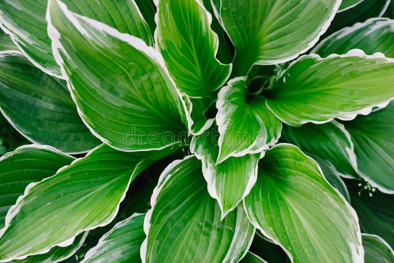 Πράσινα μεγάλα φωτεινά φύλλα με τα άσπρα σύνορα στοκ φωτογραφία με δικαίωμα ελεύθερης χρήσης
