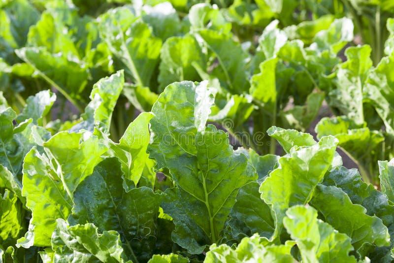 Πράσινα παντζάρια φύλλων στοκ φωτογραφία με δικαίωμα ελεύθερης χρήσης