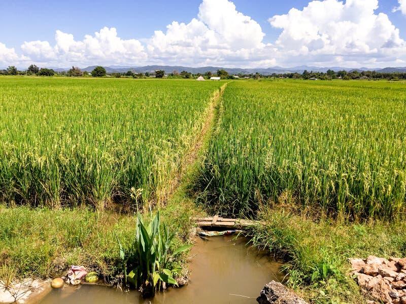 Πράσινα πεδία ρυζιού στην Ταϊλάνδη στοκ φωτογραφία με δικαίωμα ελεύθερης χρήσης