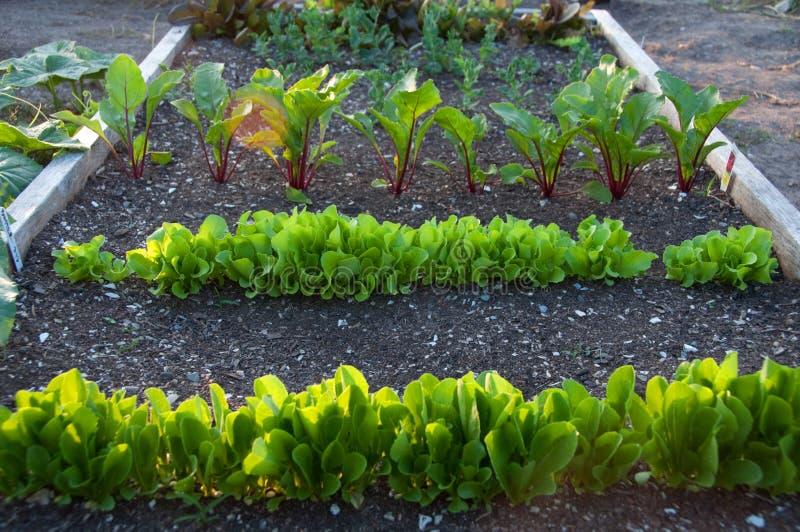 Πράσινα που αναπτύσσουν στον κοινοτικό κήπο στοκ εικόνες