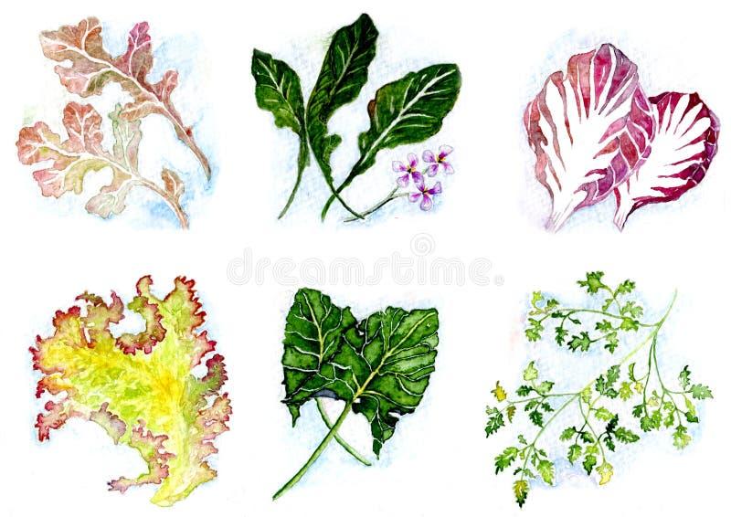 Πράσινα σαλάτας διανυσματική απεικόνιση