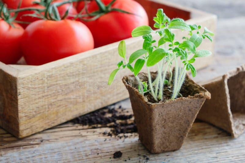 Πράσινα σπορόφυτα ανάπτυξης των ντοματών και των κόκκινων ώριμων ντοματών στο ξύλινο κλουβί στοκ εικόνες