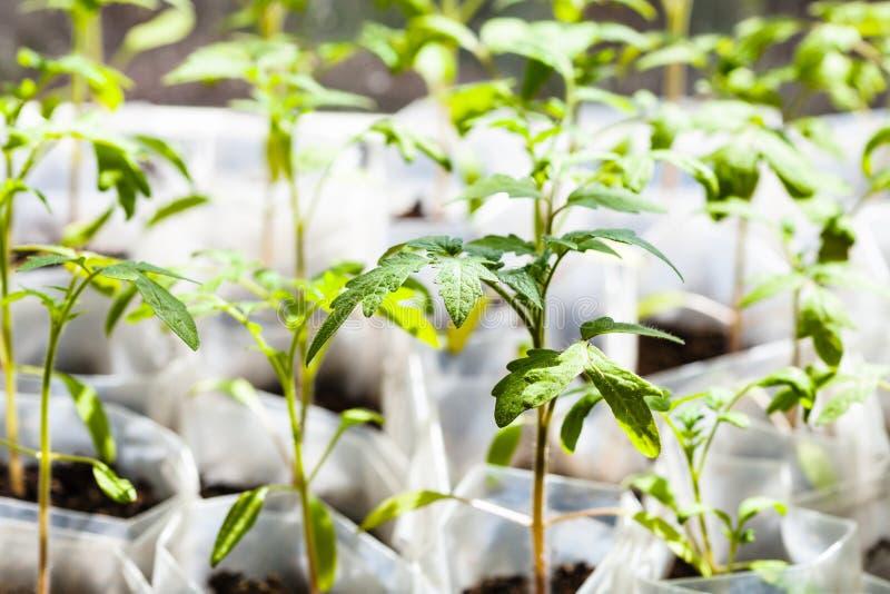 Πράσινα σπορόφυτα της τοματιάς στους πλαστικούς σωλήνες στοκ εικόνες