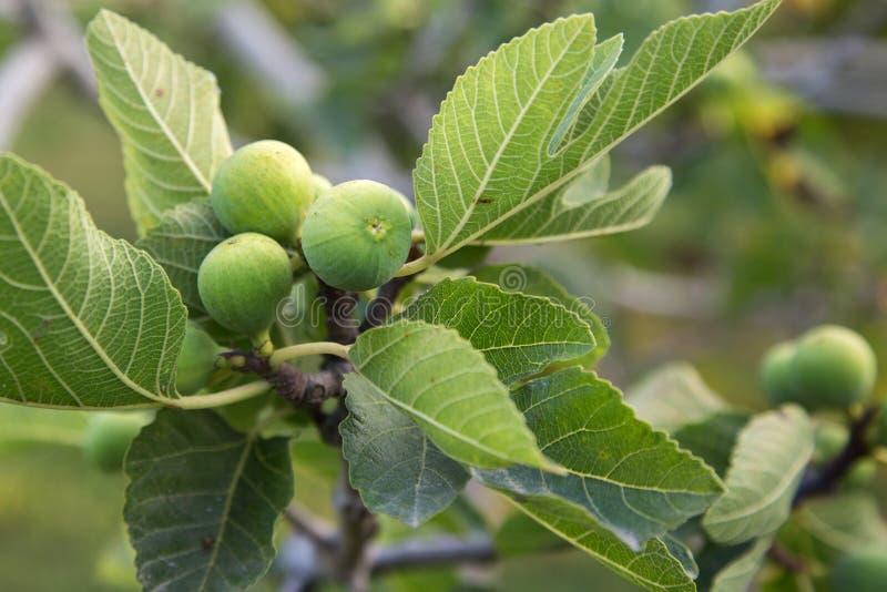 Πράσινα σύκα που αυξάνονται στο δέντρο στοκ εικόνες