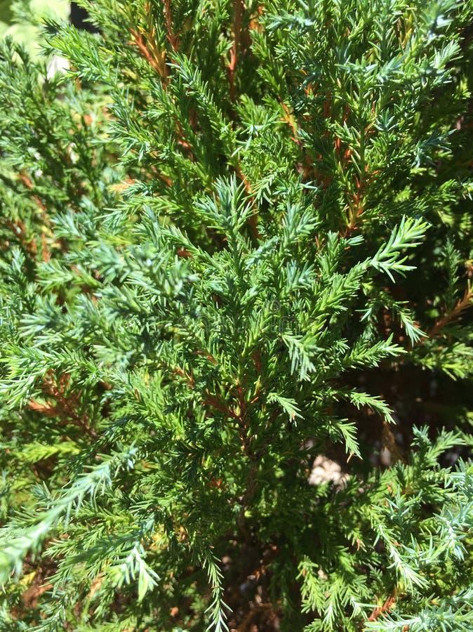 Πράσινα φρέσκα δέντρα πεύκων στοκ φωτογραφία