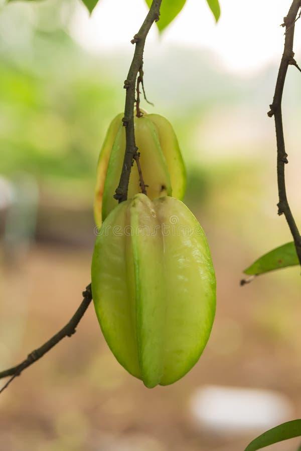 Πράσινα φρούτα μήλων αστεριών που κρεμούν στο δέντρο στοκ φωτογραφία