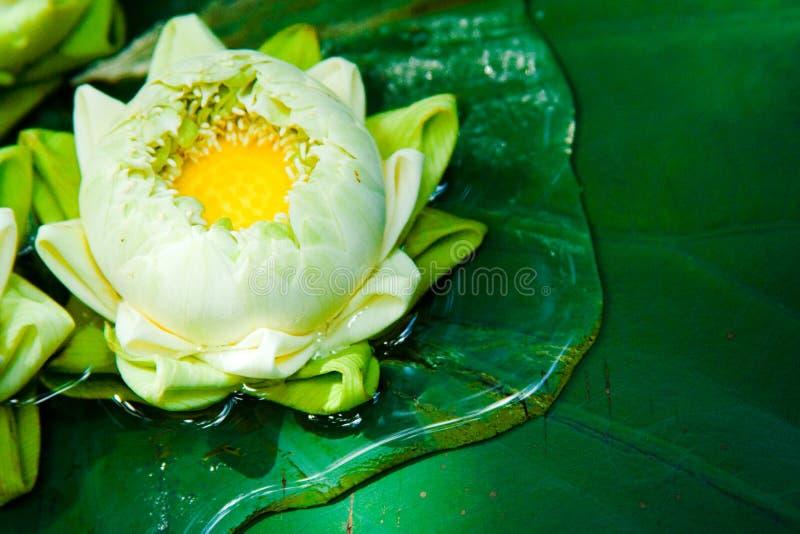 πράσινα φυτά λωτού της Ασίας στοκ εικόνες με δικαίωμα ελεύθερης χρήσης