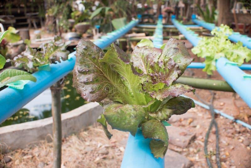 πράσινα φυλλώδη λαχανικά στοκ εικόνες