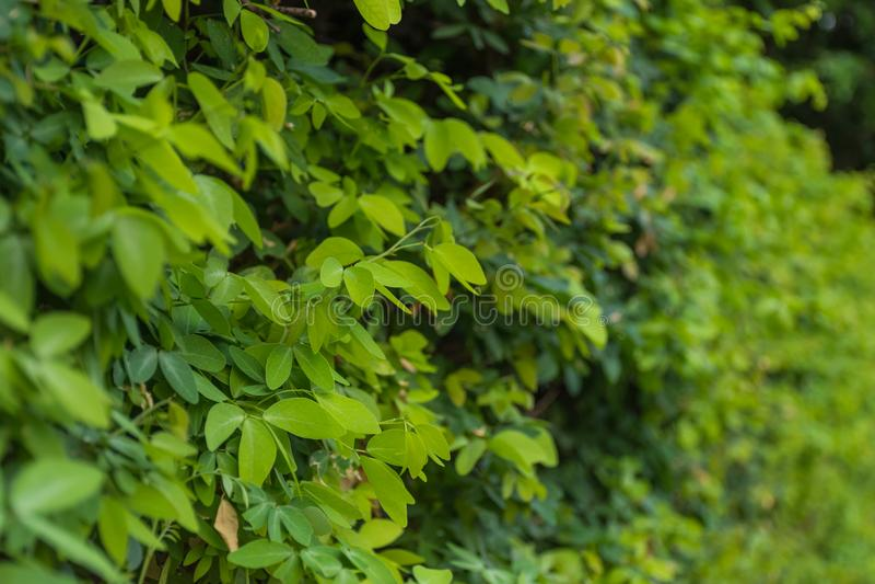 πράσινα φύλλα ανασκόπησης ακακιών στοκ εικόνες