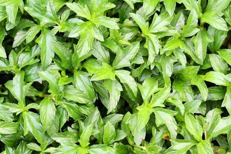 Download πράσινα φύλλα ανασκόπησης στοκ εικόνες. εικόνα από περιβάλλον - 22788902
