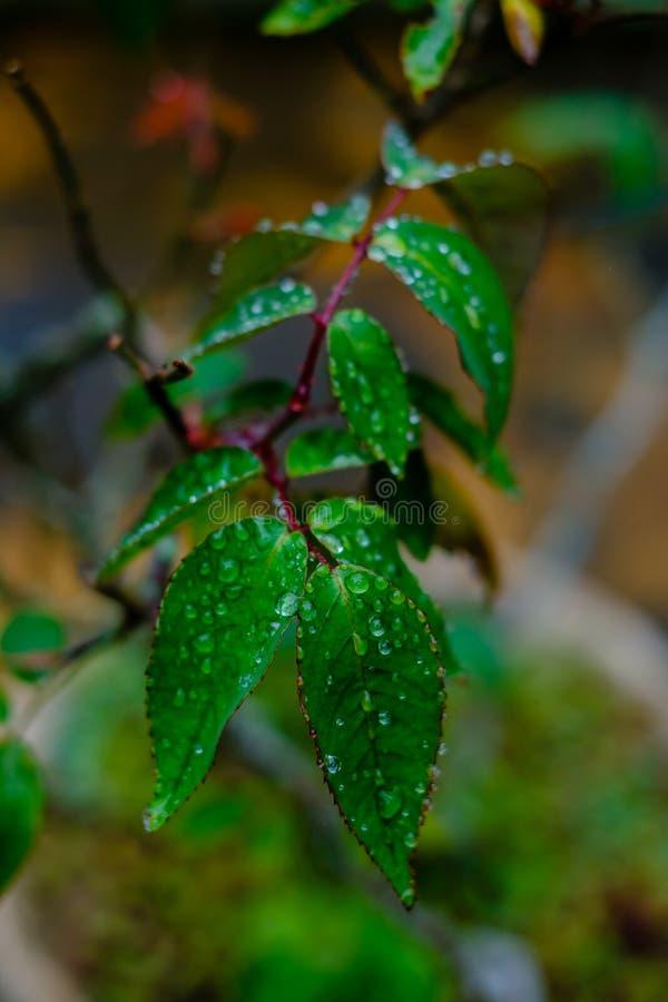 Πράσινα φύλλα από ένα σύνολο θάμνων των σταγονίδιων μετά από τη βροχή, που είναι στοκ φωτογραφίες