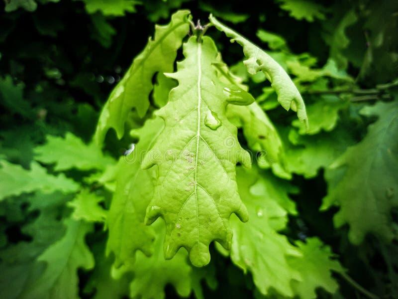Πράσινα φύλλα δέντρων στη μακροεντολή στοκ εικόνα