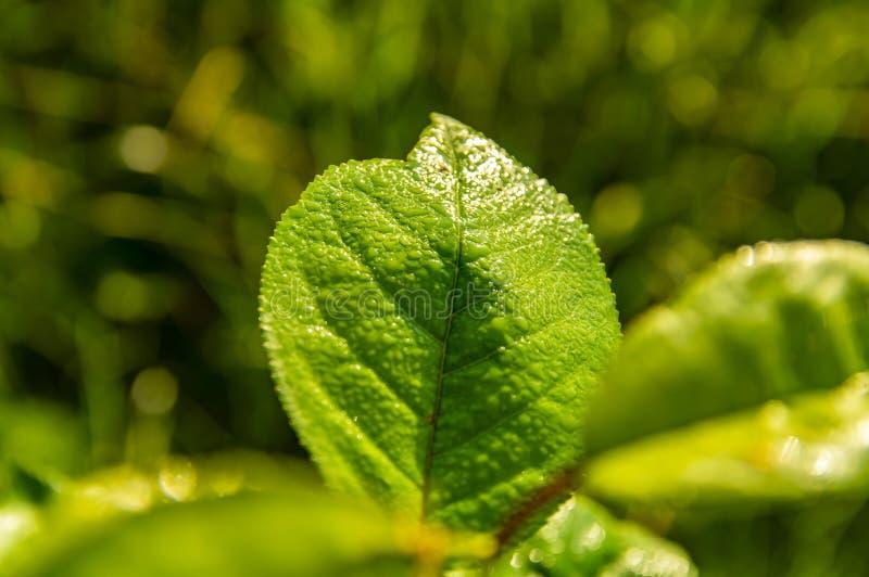 Πράσινα φύλλα ενός δέντρου με τις πτώσεις δροσιάς στοκ φωτογραφία με δικαίωμα ελεύθερης χρήσης