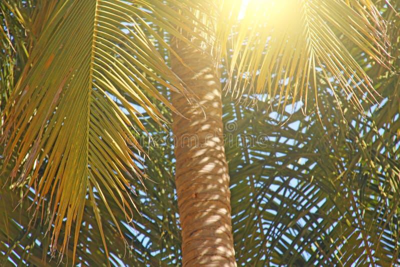 Πράσινα φύλλα ενός φοίνικα, ενός ήλιου και ενός μπλε ουρανού Όμορφος εξωτικός στοκ εικόνα