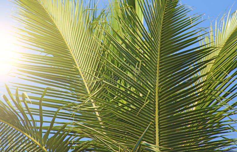 Πράσινα φύλλα ενός φοίνικα, ενός ήλιου και ενός μπλε ουρανού Όμορφος εξωτικός στοκ φωτογραφίες με δικαίωμα ελεύθερης χρήσης