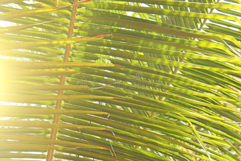 Πράσινα φύλλα ενός φοίνικα και του ήλιου Εξωτικό τροπικό backgro στοκ εικόνες