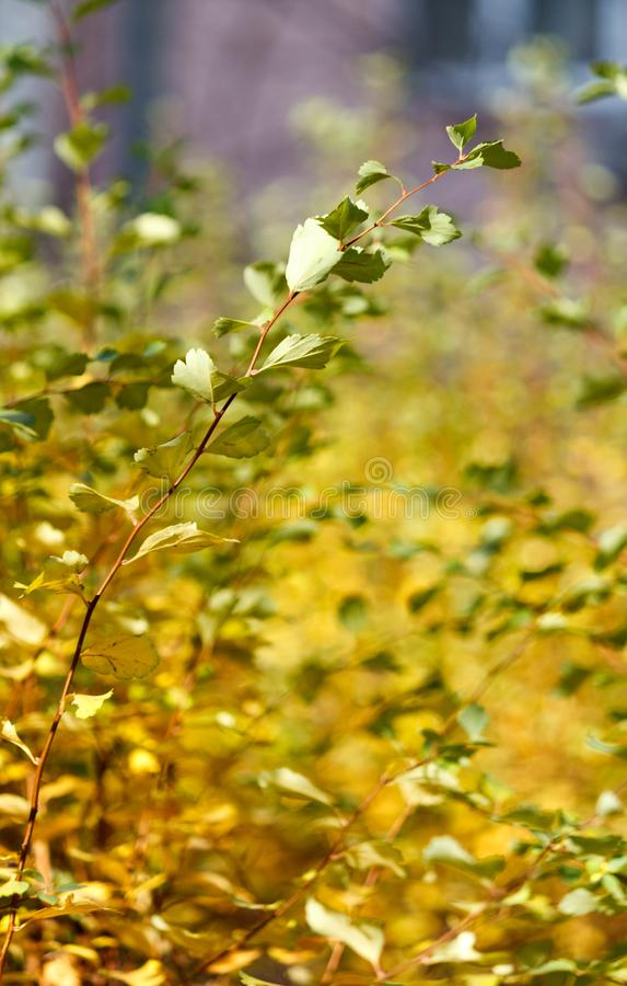 Πράσινα φύλλα θάμνων με το blury υπόβαθρο στοκ εικόνες
