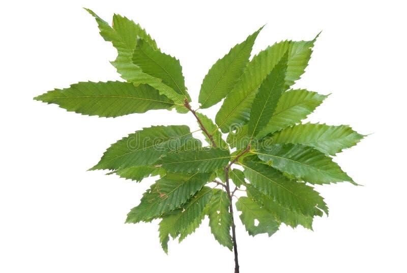 πράσινα φύλλα κάστανων κλά&delta στοκ εικόνες