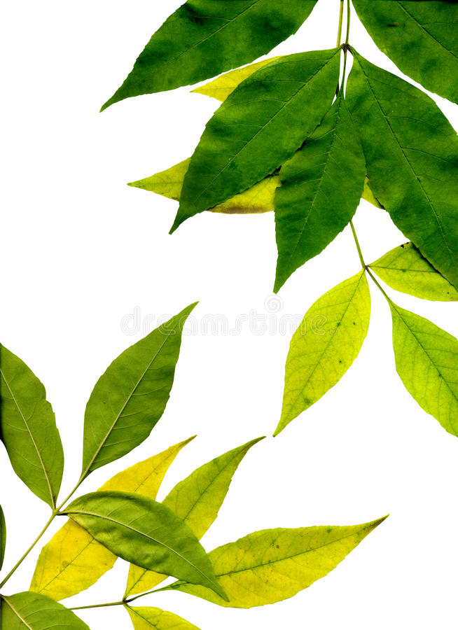 πράσινα φύλλα κίτρινα στοκ εικόνα με δικαίωμα ελεύθερης χρήσης