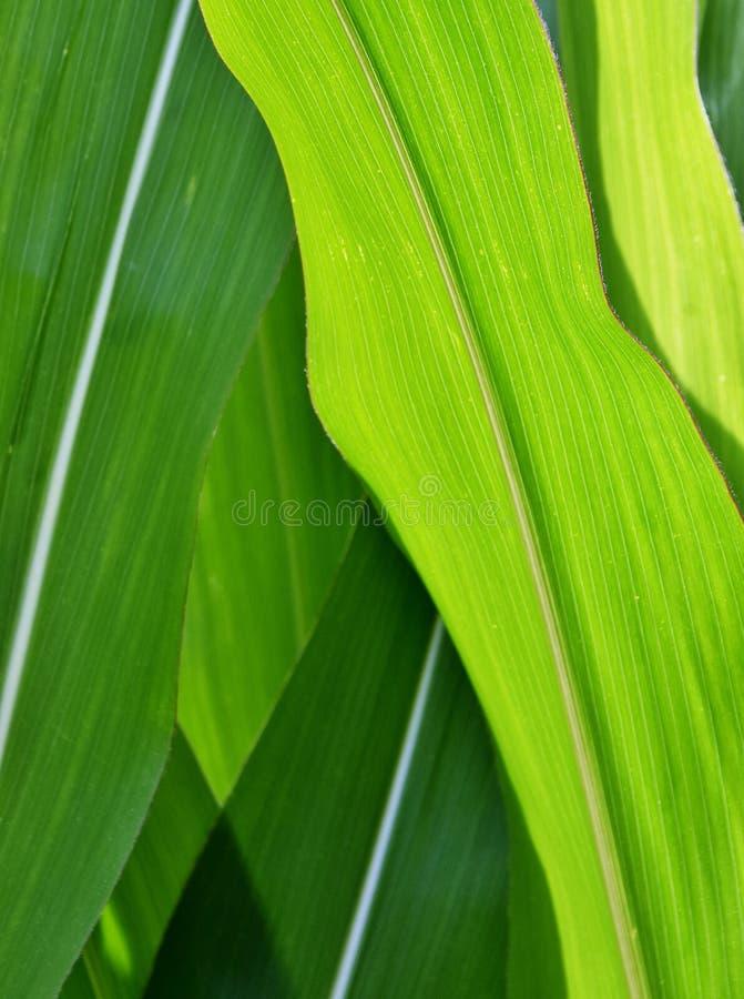 Πράσινα φύλλα καλαμποκιού στοκ φωτογραφία με δικαίωμα ελεύθερης χρήσης