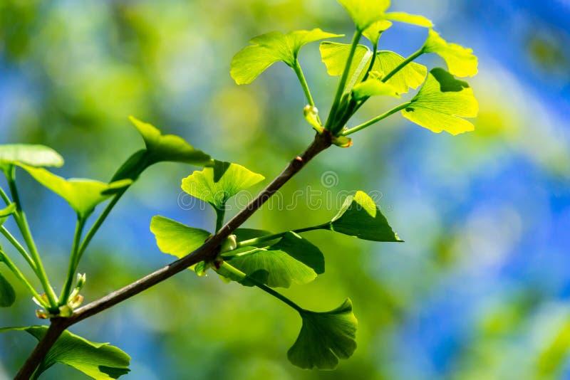 Πράσινα φύλλα κινηματογραφήσεων σε πρώτο πλάνο λαμπρά του biloba Ginkgo δέντρων Ginkgo, γνωστό gingko στη μαλακή εστίαση στο κλίμ στοκ εικόνα