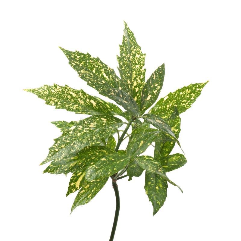 πράσινα φύλλα κλάδων κίτριν&a στοκ φωτογραφίες με δικαίωμα ελεύθερης χρήσης