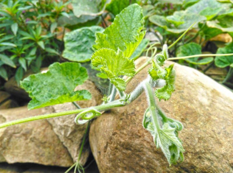 Πράσινα φύλλα κολοκύθας με τον τριχωτό μίσχο φυτών αμπέλων και tendrils στοκ φωτογραφίες