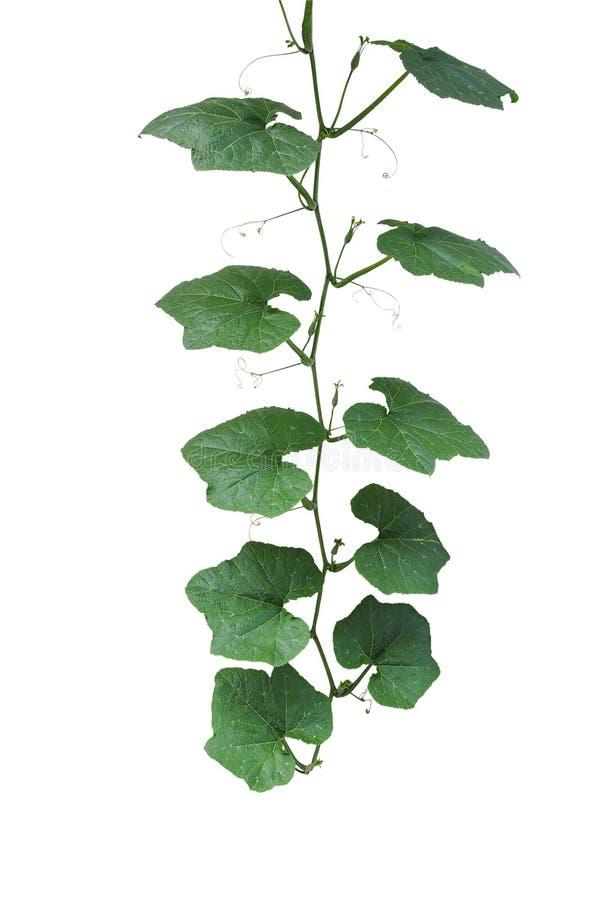 Πράσινα φύλλα κολοκύθας με το μίσχο φυτών αμπέλων και tendrils απομονωμένος στοκ εικόνες