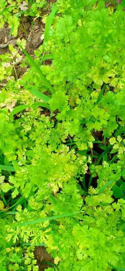 Πράσινα φύλλα κορίανδρου για τα τρόφιμα στοκ εικόνες