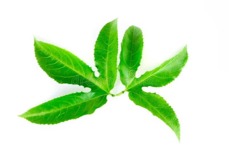 Πράσινα φύλλα λωτού που απομονώνονται στο άσπρο υπόβαθρο στοκ φωτογραφίες