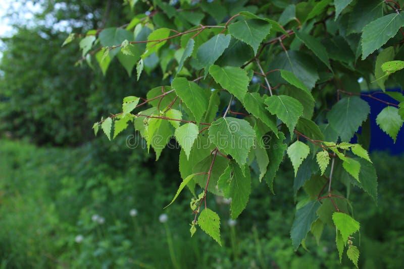 Πράσινα φύλλα μετά από τη βροχή σε Perm στοκ εικόνες