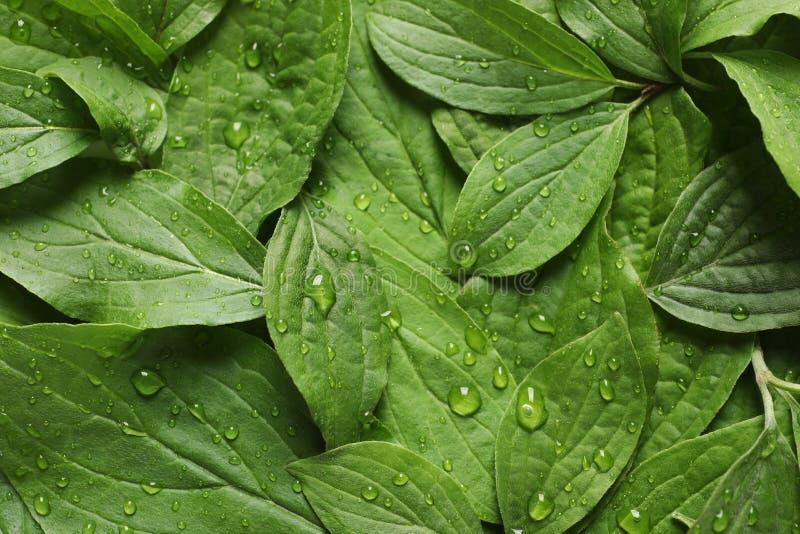 Πράσινα φύλλα με τη δροσιά ως υπόβαθρο στοκ εικόνες