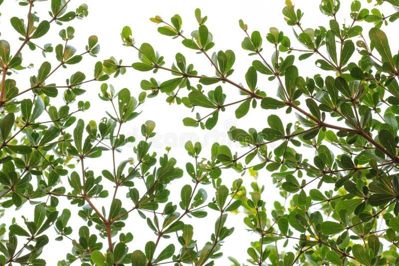 πράσινα φύλλα μικρά στοκ φωτογραφίες