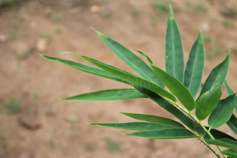 Πράσινα φύλλα μπαμπού μωρών με το υπόβαθρο θαμπάδων στοκ φωτογραφία με δικαίωμα ελεύθερης χρήσης